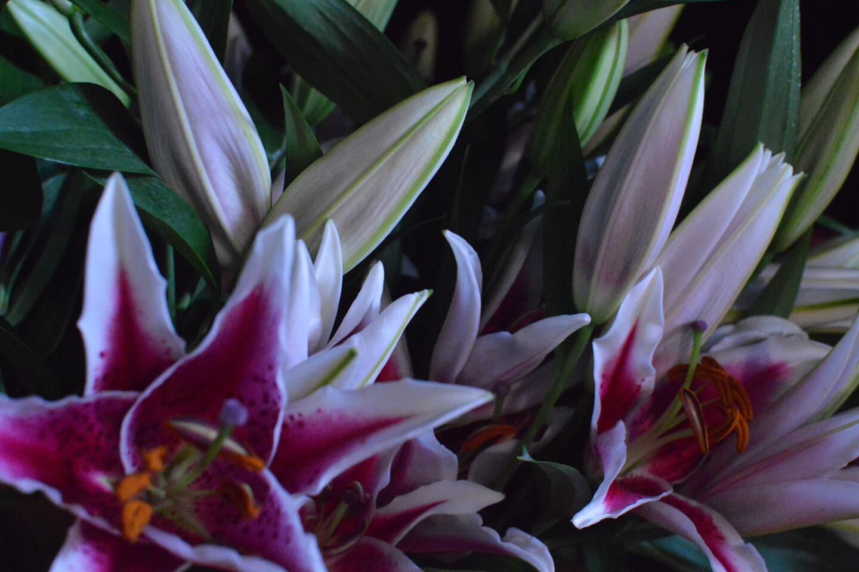 Oriental Lilies Blooms Showcase Design N Bloom
